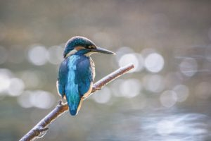 Kingfisher on branch confidently displaying his own striking personal brand